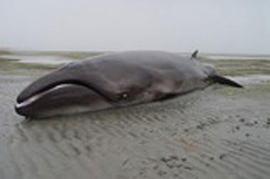 12-19-12-pgymy-right-whale_full_380