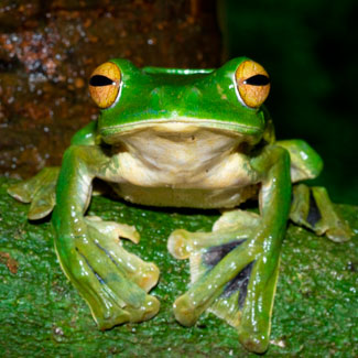 new-flying-frog-discovered
