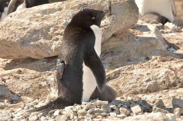 Handout of an Adelie penguin carrying a video camera on its back stands in Langhovde