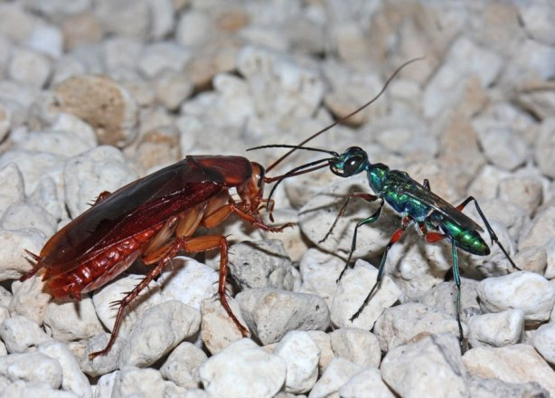 wasp-and-roach