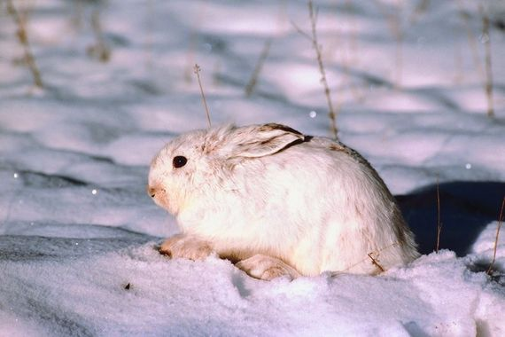 snow-rabbit
