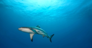 grey-reef-shark-moon