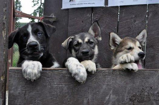 three-puppies