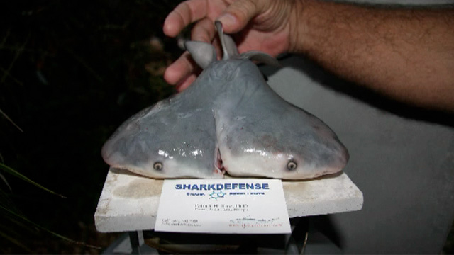 Two-headed shark