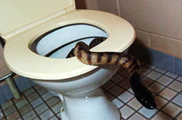 Snake-Bites-Man-Penis-Toilet