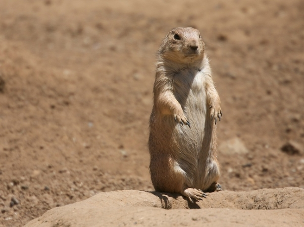 prairie_dog_language_jpg_662x0_q100_crop-scale