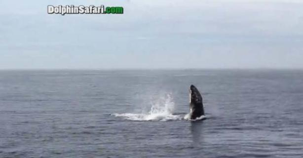 whale+mating
