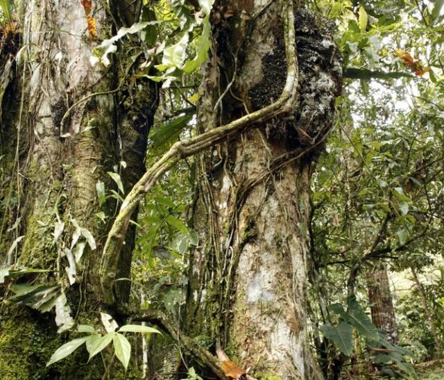 ayahuasca-vine-110929