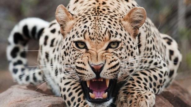 Leopard-Attack