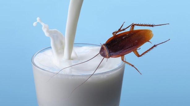 Image result for insect milk
