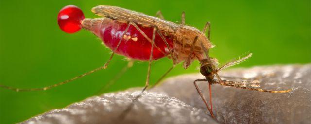 zanzara-anopheles-gambiae-720-x